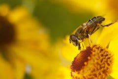 Abeille sur une fleur jaune Images libres de droits
