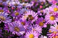 Abeille sur une fleur pourpre images stock