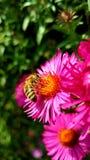 Abeille sur une fleur rose Photos stock