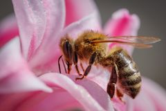 Abeille sur une fleur rose rassemblant le pollen et recueillant le nectar à p image libre de droits