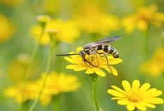 Abeille travaillant à la fleur jaune Image stock