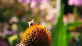 Abeille travaillant aux fleurs d'officinalis d'Echinacea banque de vidéos