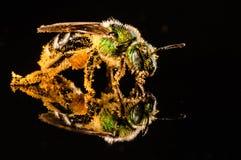 Abeille verte couverte de pollen Photographie stock