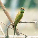 Abeille verte - petit abeille-mangeur vert de mangeur Photos libres de droits