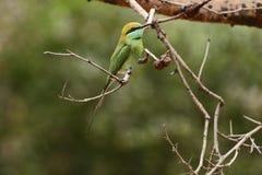 Abeille verte - petit abeille-mangeur vert de mangeur Images stock
