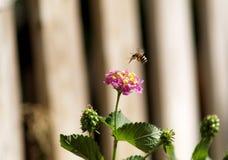 Abeille volant au-dessus d'une fleur photographie stock