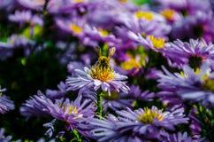 Abeille volant au-dessus du gisement de fleur coloré à l'été Image stock