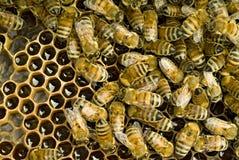 Abeilles à l'intérieur de ruche Photographie stock libre de droits
