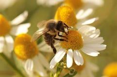 abeilles Photographie stock