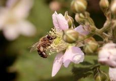 abeilles Images libres de droits