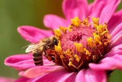 abeilles Photos libres de droits