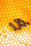 Abeilles au travail sur des cellules avec le nid d'abeilles brillant photos libres de droits