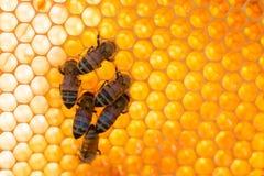 Abeilles au travail sur des cellules avec le nid d'abeilles brillant photo libre de droits