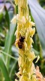Abeilles dans des domaines de maïs Photos libres de droits