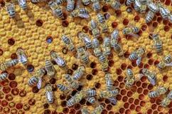 Abeilles dans la ruche Photos stock