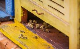 Abeilles dans le rucher Image stock