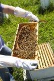 Abeilles de examen de miel d'apiculteur Image stock