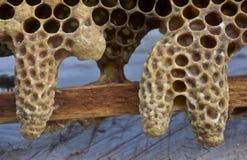 Abeilles de la Reine d'abeilles et de cocons Photos stock