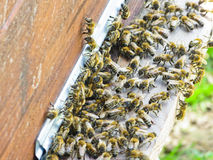 Abeilles de miel à l'entrée à leur ruche photo libre de droits