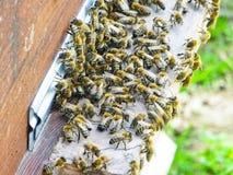 Abeilles de miel à l'entrée à leur ruche images libres de droits