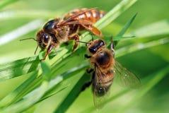 Abeilles de miel Photographie stock libre de droits
