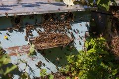 Abeilles de miel devant l'enterence de ruche Photo stock