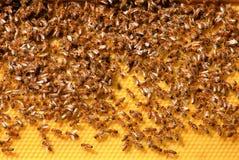 Abeilles de miel sur le peigne de miel photos libres de droits