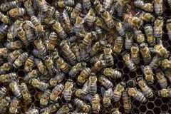 Abeilles de miel sur le rucher à la maison Photographie stock libre de droits