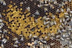 Abeilles de miel sur le rucher à la maison Photo libre de droits