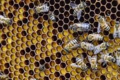 Abeilles de miel sur le rucher à la maison Image stock