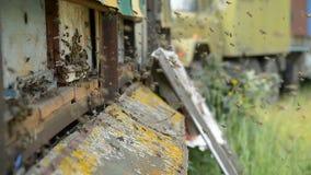 Abeilles de miel sur un atterrissage de pasik sur des conseils et le vol d'embarquement de retour pour rassembler le pollen clips vidéos