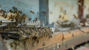 Abeilles de miel sur un atterrissage de pasik sur des conseils et le vol d'embarquement de retour pour rassembler le pollen banque de vidéos