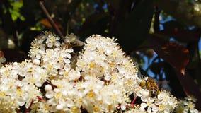Abeilles de ressort sur le mouvement lent des fleurs 04 de Spiraea clips vidéos