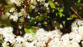 Abeilles de ressort sur le mouvement lent des fleurs 03 de Spiraea banque de vidéos