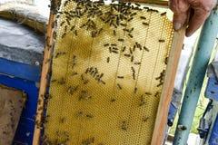 Abeilles de Roy sur des peignes de cire Nid d'abeilles d'abeille, planche avec le nid d'abeilles de la ruche l'instruction-macro  Images stock
