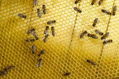 Abeilles de Roy sur des peignes de cire Nid d'abeilles d'abeille, planche avec le nid d'abeilles de la ruche l'instruction-macro  Photos stock