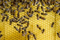 Abeilles de Roy sur des peignes de cire Nid d'abeilles d'abeille, planche avec le nid d'abeilles de la ruche l'instruction-macro  Image libre de droits