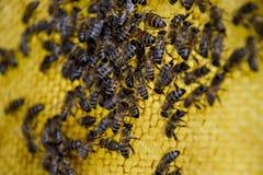 Abeilles de Roy sur des peignes de cire Nid d'abeilles d'abeille, planche avec le nid d'abeilles de la ruche l'instruction-macro  Photographie stock