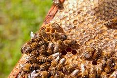 Abeilles de travail sur le nid d'abeilles jaune avec du miel doux Photo libre de droits
