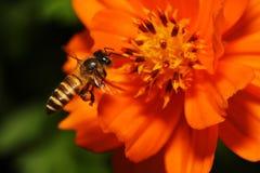 Abeilles de vol planant au-dessus de la fleur Photos libres de droits