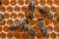 abeilles derrière le travail Photo libre de droits