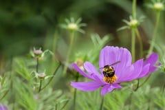 Abeilles et fleurs Photos stock
