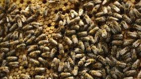 Abeilles l'heure d'été de nid d'abeilles banque de vidéos