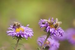 Abeilles rassemblant le pollen Image stock