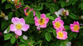 Abeilles rassemblant le pollen dans le plein printemps banque de vidéos