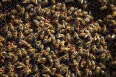Abeilles saines de miel sur un cadre, cellules couvertes de larves Image libre de droits