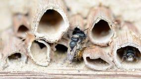Abeilles solitaires sauvages joignant sur l'hôtel d'insecte au printemps Photographie stock libre de droits