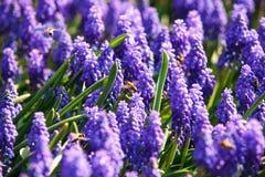 Abeilles sur des fleurs de ressort Photos libres de droits