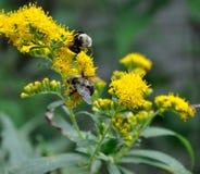 2 abeilles sur la fleur jaune pollinisant Image libre de droits