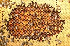 Abeilles sur le nid d'abeilles Photos libres de droits